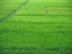 44 Kathha (59840 Ft²) Agriculture Land Near Dumraon, Buxar